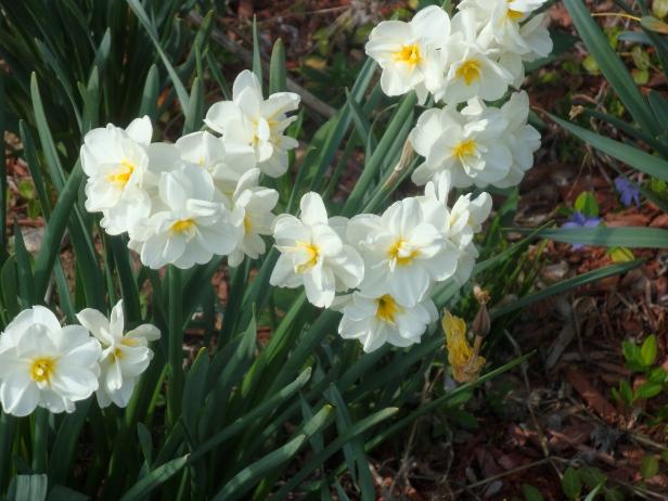 Daffodilsjpg